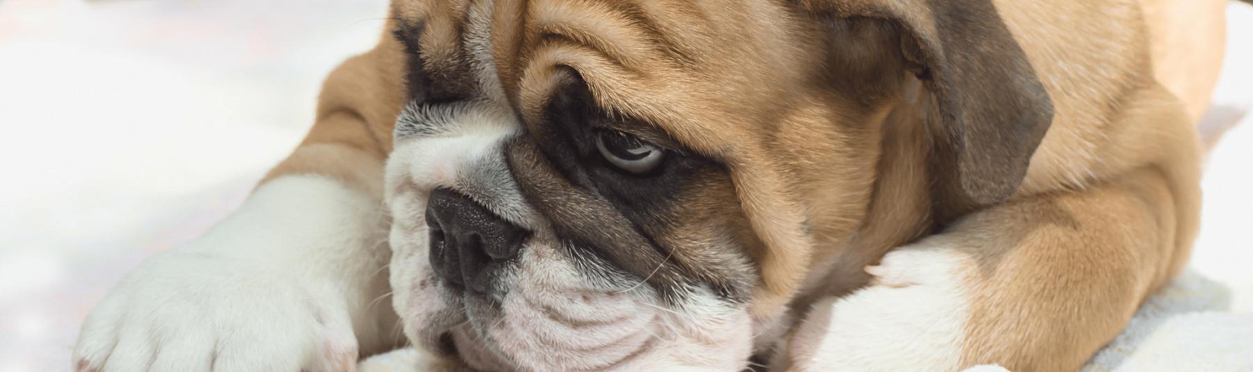 Sad dog looking down