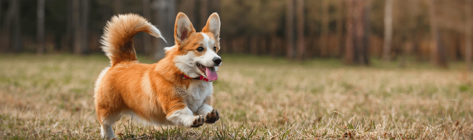 Corgi running in grass