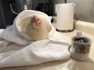 Sabrina the chicken sitting in a towel