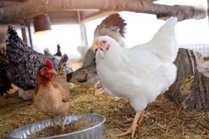 Sabrina the chicken with her chicken friend Maple