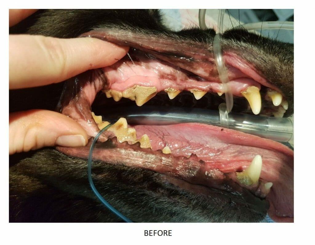 Bentley's teeth before treatment